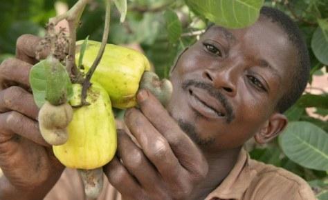 Kwesi Kumah, fermier à Kuntunso près de Techiman, scrutant un cajou. Avec le soutien agricole de l'USAID les fermiers ghanéens ont augmenté leurs récoltes.