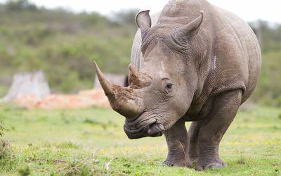 Rhino+XXX+high+res